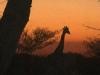 giraffe_sunset