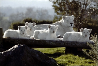 white_lions